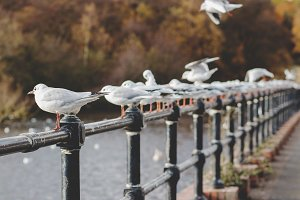 Row of Gulls Perched on a Railing