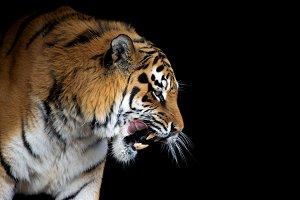 Tiger portrait on black background