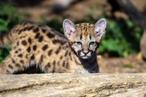 Baby cougar, mountain lion or puma