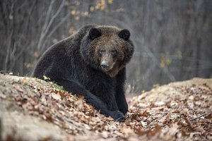 Bear in autumn forest