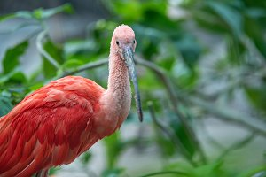 Beautiful red bird, Scarlet Ibis