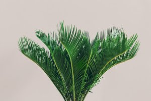 Exotic palm plant on light backgroun