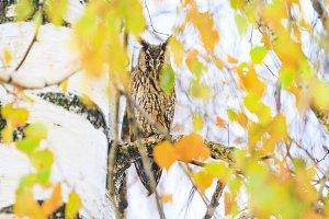 bird of prey Long-eared owl among