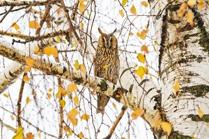 eared owl sitting on a birch branch