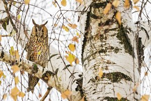Long-eared owl sitting on a birch