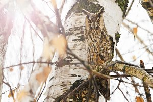 owl hid among the branches with
