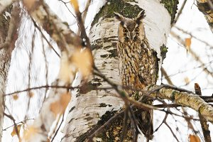 owl hid among the branches