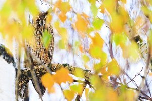owl sits among colored leaves