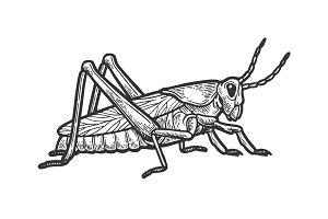 Grasshopper locust engraving vector