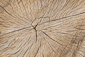 sawed birch tree trunk