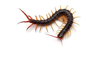 Giant centipede isolated on white