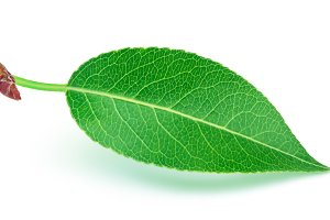 Pear leaf isolated on white