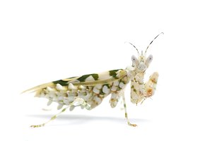 Small Flower Mantis