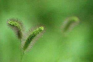 Foxtails Grass Seed Heads