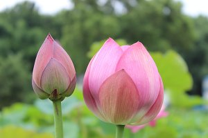 Pink Lotus Flower Buds