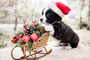 corgi puppy in santa hat on the
