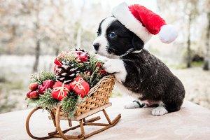 corgi puppy in santa hat on the