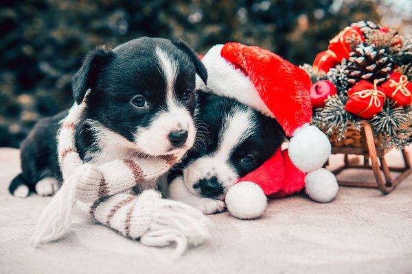 Animal Stock Photos: COLORFUL - Funny corgi puppy dogs in santa