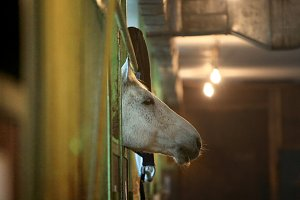 White racehorse between the bars