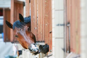 Racehorse photo portrait