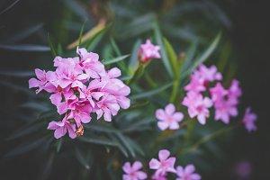 Flowers of Nerium Oleander