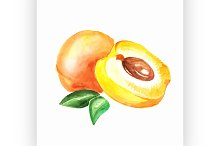 apricot. Vector watercolor painting