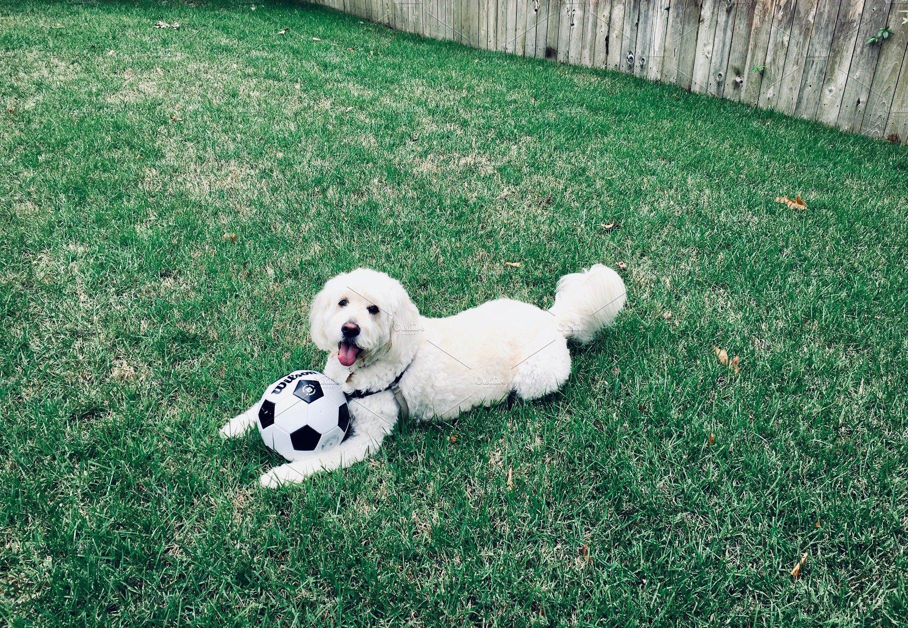 Goldendoodle Dog Playing Soccer