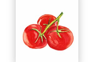 tomato. Vector watercolor painting