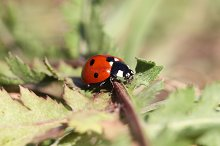 lady bug by  in Animals