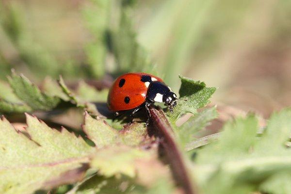 Animal Stock Photos: Viktor - lady bug