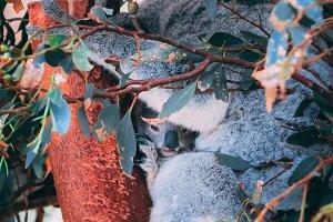 Koala with her baby