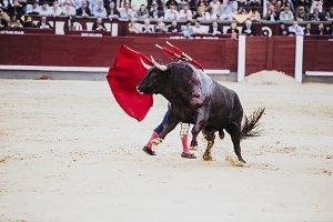 Spanish bullfight. The enraged bull