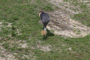 East African Grey-crowned crane