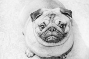 Charming doggy pug looking at camera