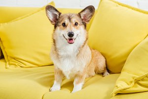 cute welsh corgi dog sitting on yell