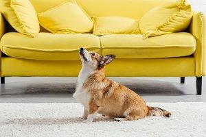 adorable pembroke welsh corgi dog pe