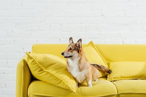 corgi dog sitting on sofa