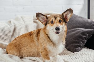 adorable pembroke welsh corgi sittin