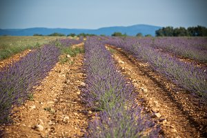 Summer lavender field in Provence