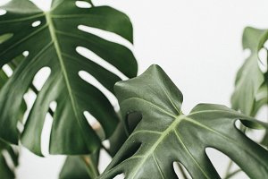 Monstera palm leaves