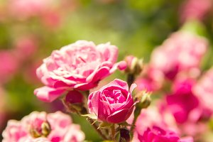 Beautiful pink flowers roses rose