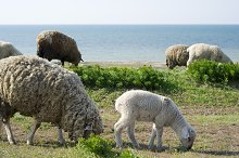 Sheeps grazing near the sea