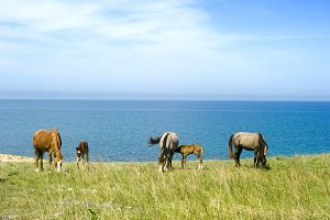Herd of horses grazing near the sea