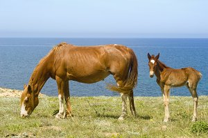 Horses grazing near the sea