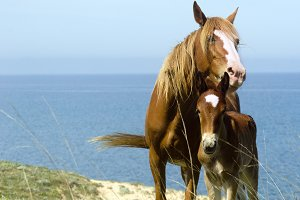 mare and foal at the seashore