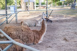 Llamas in the zoo are on the sand