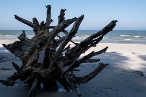 Dead tree washed out on the beach