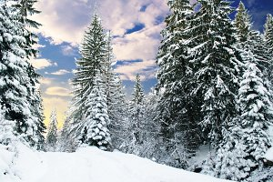 Winter fir-tree forest