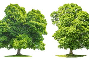 Green maple tree isolated JPG
