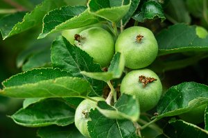 The apples reach the tree branch in
